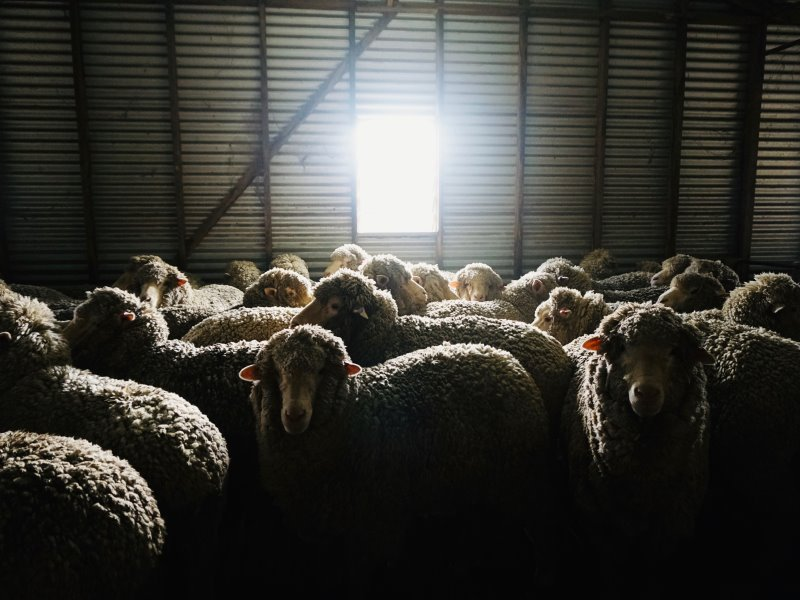 Light at the end of shearing. 2
